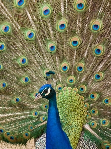 bigstockphoto_blue_peacock_showing_4390596