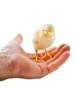 chick on hand
